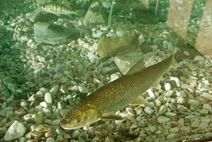 Perlfisch mit Laichausschlag