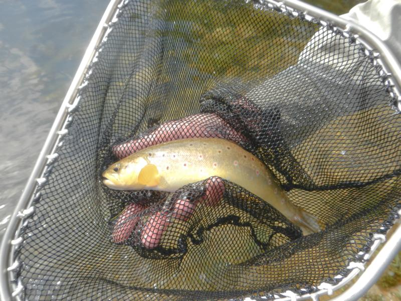 Bachforellen Laichfisch aus dem Sulzbach