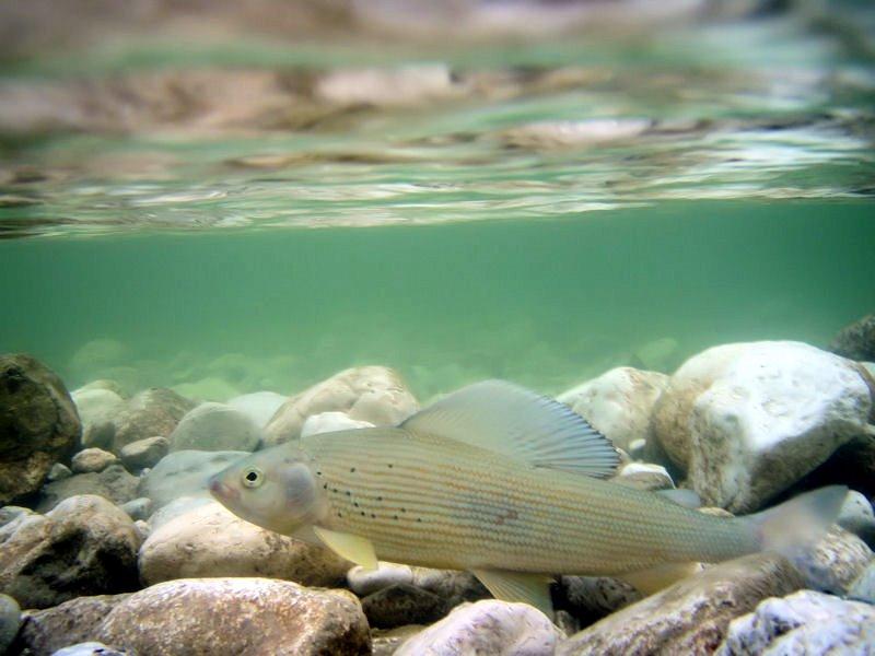 Unterwasseraufnahme einer Äsche