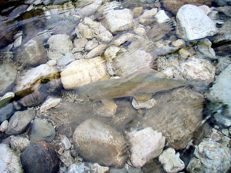 Äsche im Gletscherwasser