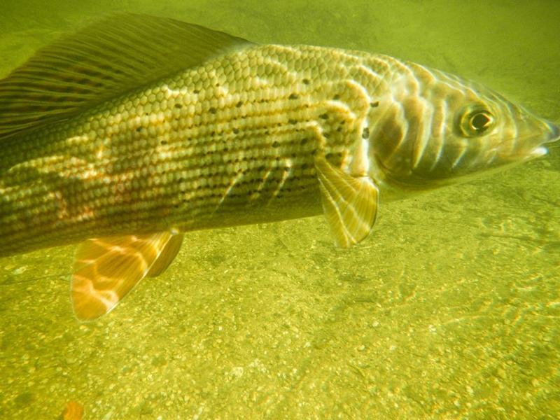 Unterwasseraufnahme einer Äsche mit meiner Nikon Coolpix AW100
