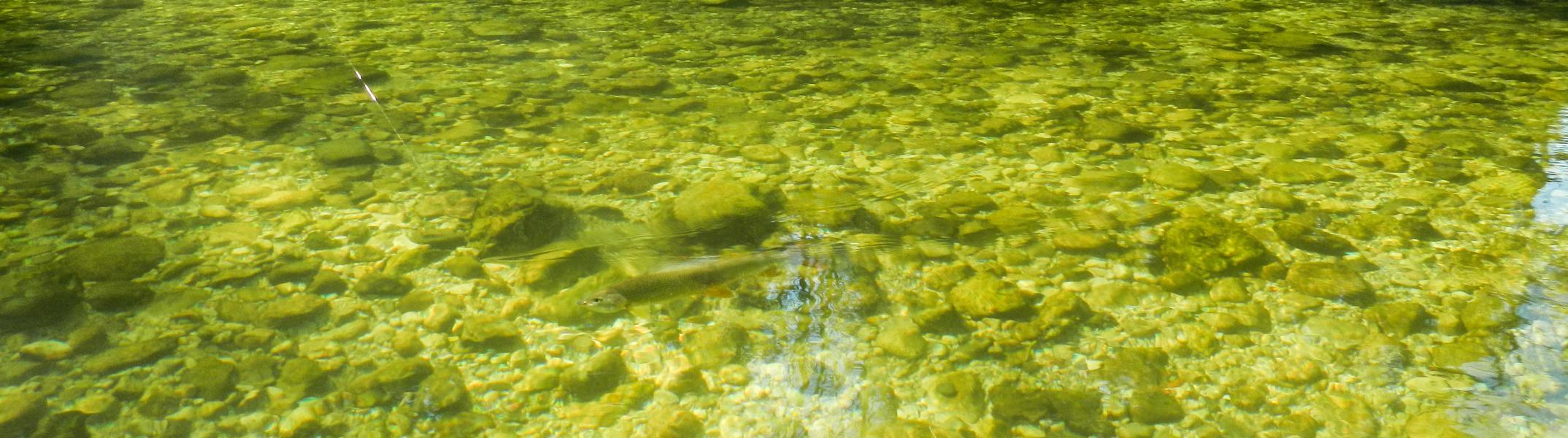 Im glasklaren Wasser der Traun ....
