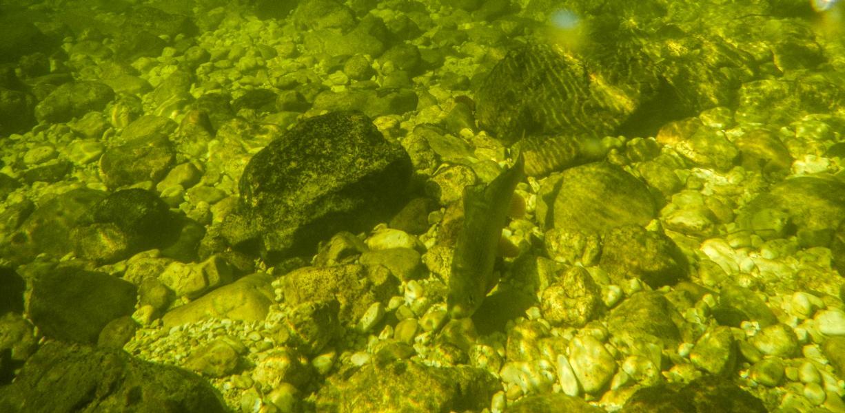 Da ohne Wiederhacken gefischt wird; steht die Äsche nach dem Drill gleich wieder in der Strömung ....