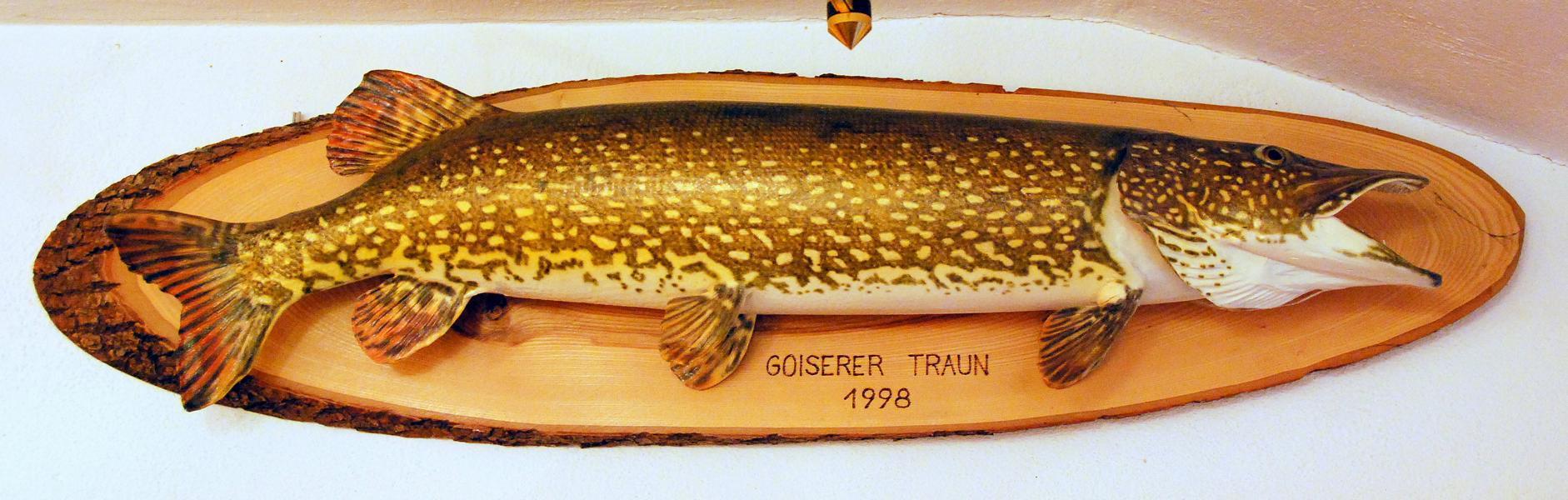 96er Hecht aus der Goiserer Traun - direkt unterhalb von der Seeklause gefangen