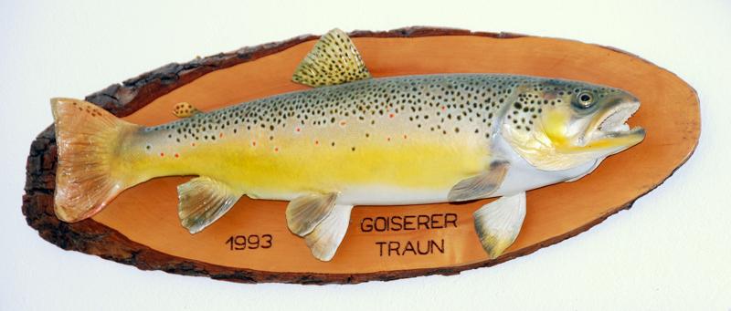 Die Bachforelle, war bis Ende des vergangen Jahrtausend der Leitfisch in der Oberen Traun!