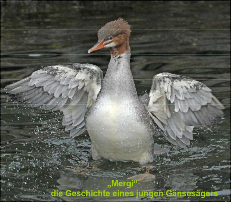 Mergi_der Gaensesäger_HAH_HC_098