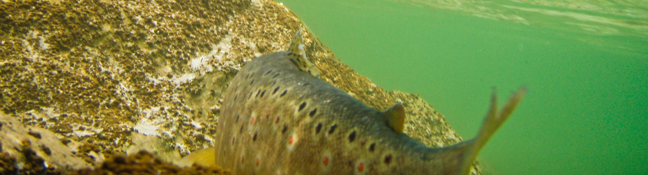 Bachforelle Unterwasser